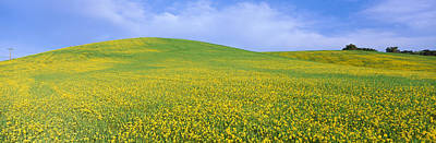 Ojai Wall Art - Photograph - This Is A Field Of Yellow Mustard by Panoramic Images