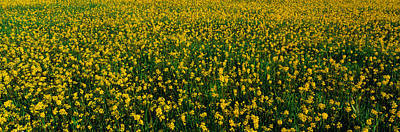 Ojai Wall Art - Photograph - This Is A Spring Field Of Yellow by Panoramic Images
