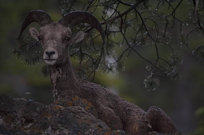 This Is Alberta No.29 - Mountain Sheep Taking Cover 2 Art Print by Paul W Sharpe Aka Wizard of Wonders