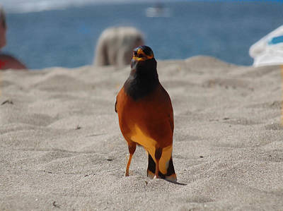 Common Myna Photograph - This Is My Beach. Get Outta Here. by Marcello Cicchini