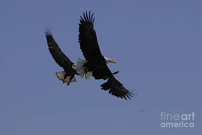 Bald Eagles Photograph - This Is My Fish  by Robert Smice