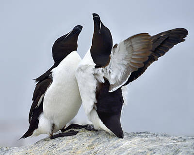 Razorbill Wall Art - Photograph - This Much by Tony Beck