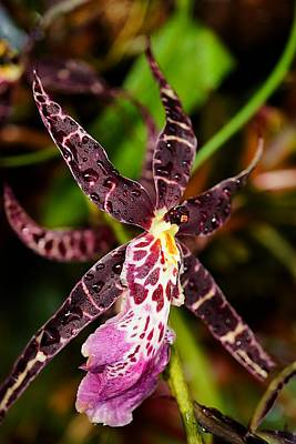 This Orchid Is A Star Art Print by Beth Akerman