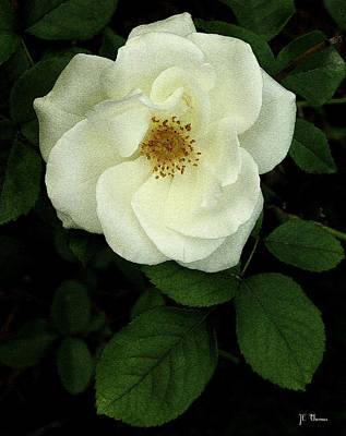 Photograph - This Rose For You by James C Thomas
