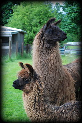 Llama Digital Art - This Way Or That by Kathy Sampson