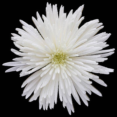 Chrysanthemums Photograph - This White Chrysanthemum by Steve Gadomski