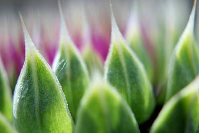 Photograph - Thisle Flower by Trent Mallett