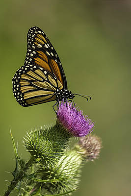 Thistle And Monarch Print by Thomas Young