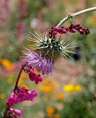 Photograph - Thistle And Penstemon by Rona Black