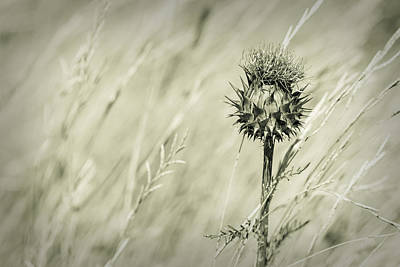 Photograph - Thistle - Dreamers Garden Series by Marco Oliveira