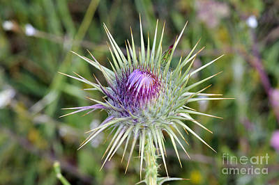 Print featuring the photograph Thistle Flower by George Atsametakis