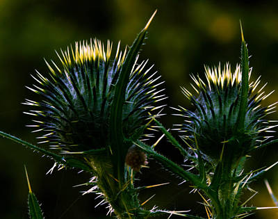 Photograph - Thistle Glow by Haren Images- Kriss Haren