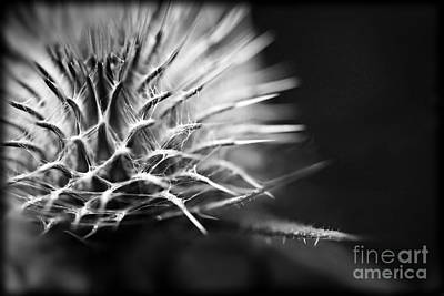 Photograph - Thistle In Monochrome by Liz  Alderdice