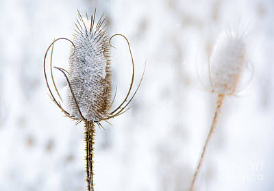 Photograph - Thistle In Snowfall by Michael Arend