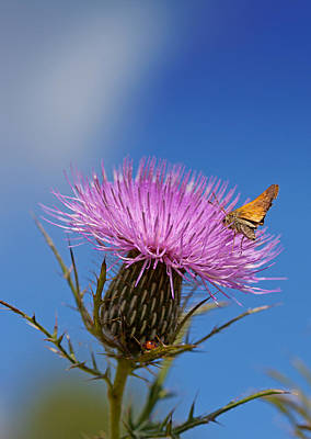 Photograph - Thistle by Melinda Fawver