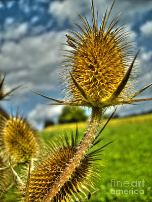 Photograph - Thistle by Nina Ficur Feenan