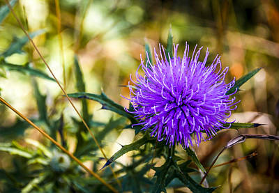Art Print featuring the photograph Thistle by Phil Abrams