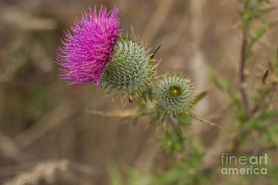 Photograph - Thistle by Suzanne Luft