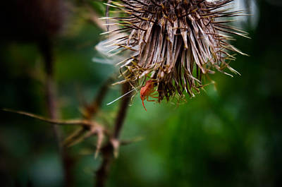Photograph - Thistle Tenant by Adria Trail