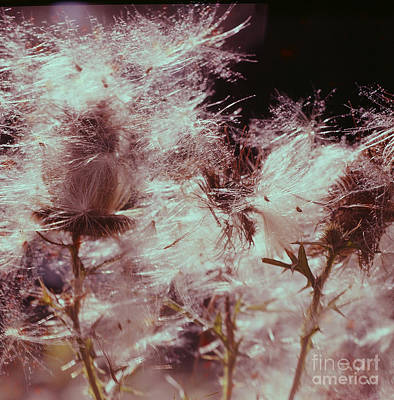 Photograph - Thistledown by Vintage Photography