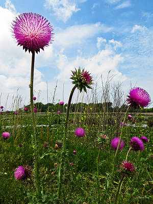 Photograph - Thistles At Sandusky Bay Trail by Shawna Rowe