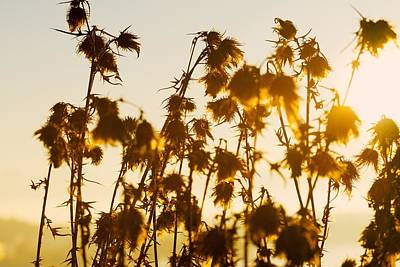 Thistles In The Sunset Art Print by Chevy Fleet