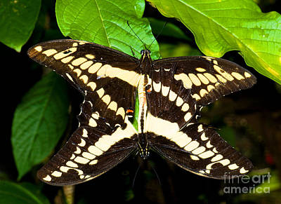 Papilio Thoas Photograph - Thoas Swallowtail Butterflies Mating by Millard H. Sharp