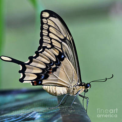 Papilio Thoas Photograph - Thoas Swallowtail Butterfly by Heiko Koehrer-Wagner