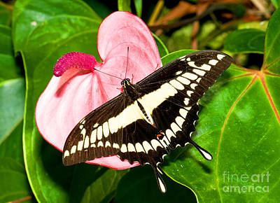Papilio Thoas Photograph - Thoas Swallowtail Butterfly by Millard H. Sharp