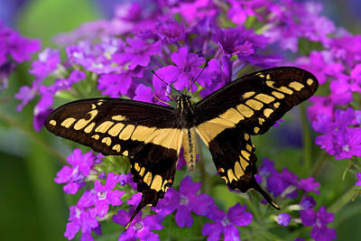 Papilio Thoas Photograph - Thoas Swallowtail Butterfly, Papilio by Darrell Gulin