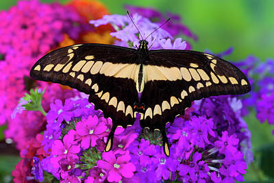 Papilio Thoas Photograph - Thoas Swallowtail Butterfly, Papilo by Darrell Gulin