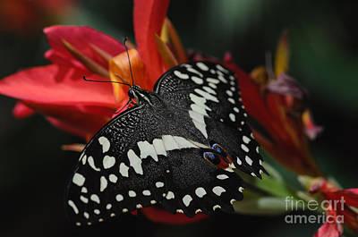 Photograph - Thoas Swallowtail Butterfly by Tamara Becker