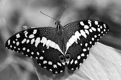 Photograph - Thoas Swallowtail II by Tamara Becker
