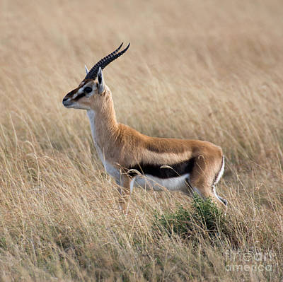 Photograph - Thompson's Gazelle by Chris Scroggins