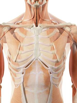 Biomedical Illustration Photograph - Thoracic Muscles by Sciepro