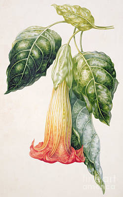 Feminine Drawing - Thorn Apple Flower From Ecuador Datura Rosei by Augusta Innes Withers