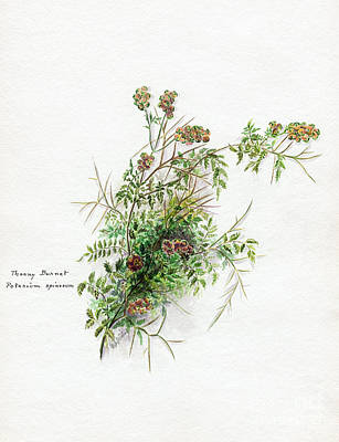 Photograph - Thorny Burnet C1950 by Granger