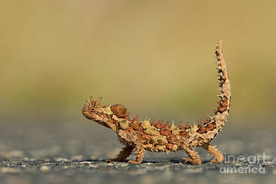 Photograph - Thorny Devil Displaying  by Yva Momatiuk John Eastcott