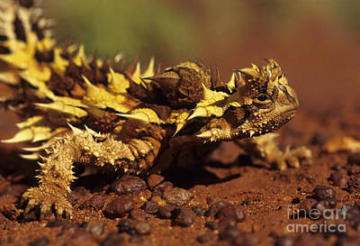 Photograph - Thorny Devil by Jean-Louis Klein and Marie-Luce Hubert