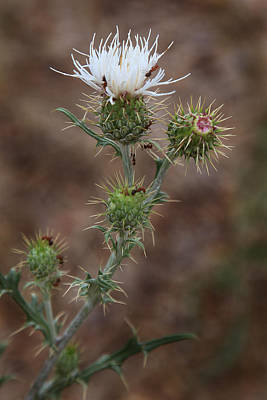 Photograph - Thorny Wild Flower by Joseph G Holland
