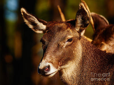 Photograph - Thorold's Deer In A Dark Forest by Nick  Biemans