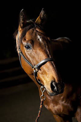 Mammals Royalty-Free and Rights-Managed Images - Thoroughbred Race Horse by Samuel Whitton