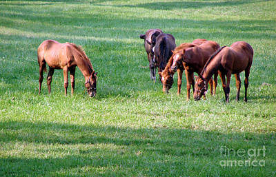 Thoroughbred Farm Photograph - Thoroughbreds by Olivier Le Queinec
