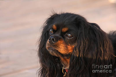 Thoughtful Cavalier Art Print by Kay Pickens