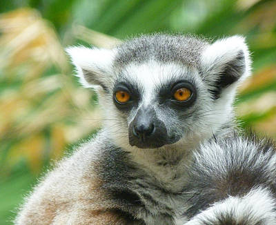 Photograph - Thoughtful Ring-tailed Lemur 2 by Margaret Saheed