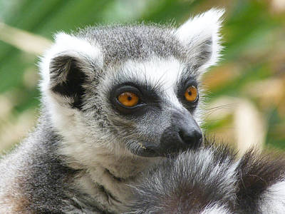 Photograph - Thoughtful Ring-tailed Lemur  by Margaret Saheed
