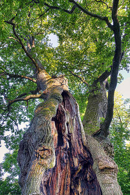 Photograph - Thousand Year Old Oak by EXparte SE