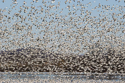 Crystal Wightman Rights Managed Images - Thousands of Snow Geese Royalty-Free Image by Crystal Wightman