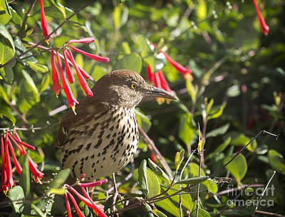 Photograph - Thrasher by Cris Hayes