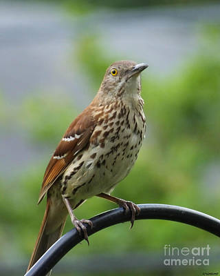 Photograph - Thrasher by Lizi Beard-Ward